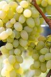 Mazzo di uva verde su un'azienda agricola fotografie stock libere da diritti