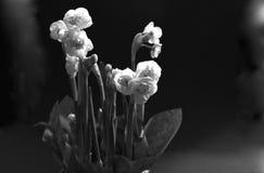 Mazzo facile della molla dai narcissuses delicati bianchi come la neve di Terry - la molla fiorisce con i petali sottili che sple Immagine Stock Libera da Diritti