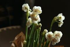 Mazzo facile della molla dai narcissuses delicati bianchi come la neve di Terry - la molla fiorisce con i petali sottili che sple Immagini Stock
