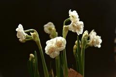 Mazzo facile della molla dai narcissuses delicati bianchi come la neve di Terry - la molla fiorisce con i petali sottili che sple Fotografie Stock Libere da Diritti
