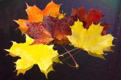 Mazzo fatto delle foglie di acero luminose Immagine Stock