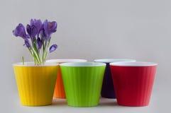 Mazzo fresco di croco porpora e dei vasi di plastica variopinti Immagine Stock Libera da Diritti