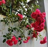 Mazzo fresco di rose selvatiche fotografie stock