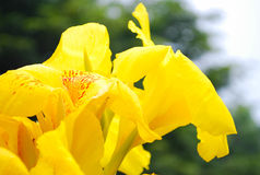 Mazzo giallo fotografie stock libere da diritti