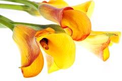 Mazzo giallo dei callas immagini stock