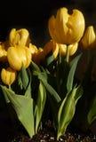 Mazzo giallo dei tulipani immagine stock