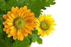 Mazzo giallo del crisantemo isolato su bianco Immagine Stock