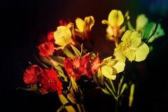 Mazzo giallo di Alstroemeria Immagini Stock