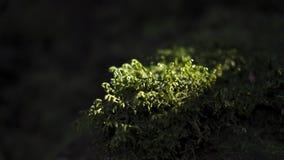 Mazzo luminoso di muschio verde circondato da ombra nelle foreste dell'alloro delle montagne di Anaga, Tenerife, isole Canarie, S Fotografie Stock