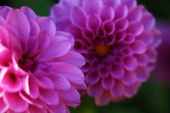 Mazzo luminoso di nozze foto delle dalie di estate, del fiore fresco giallo e bianco di rosa, della dalia di macro fotografie stock