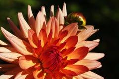 Mazzo luminoso di nozze foto delle dalie di estate, del fiore fresco giallo e bianco di rosa, della dalia di macro immagine stock libera da diritti