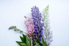 Mazzo multicolore dei lupini su un postcsrd bianco del fondo fotografia stock libera da diritti