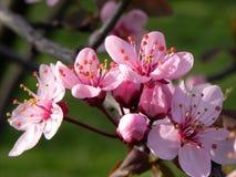 Mazzo naturale della ciliegia selvatica Immagine Stock