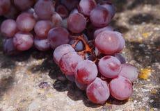 Mazzo naturalmente polveroso dell'uva rossa e verde spagnola Fotografie Stock