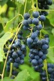Mazzo nero dell'uva pronto per il raccolto Fotografia Stock