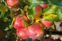 Mazzo ricco di mele rosse Immagine Stock Libera da Diritti