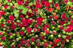 Mazzo rosa dello spruzzo rosso Fotografia Stock Libera da Diritti