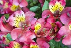 Mazzo rosa di alstroemeria Fotografia Stock
