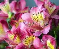 Mazzo rosa di alstroemeria per il giorno del ` s del biglietto di S. Valentino Immagine Stock Libera da Diritti