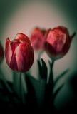 Mazzo rosso dei tulipani Fotografia Stock