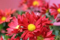 Mazzo rosso del fiore sul colore rosa Fotografia Stock Libera da Diritti