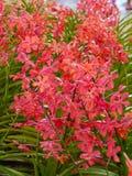 Mazzo rosso delle orchidee Fotografia Stock