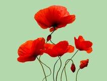 Mazzo rosso luminoso del fiore del papavero isolato sul backgro verde chiaro Immagini Stock