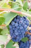 Mazzo succulente di uva sulla vite fotografia stock libera da diritti
