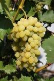 Mazzo sugoso di uva Uva appetitosa nel giardino di estate Immagini Stock Libere da Diritti
