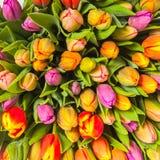 Mazzo variopinto dei fiori freschi del tulipano della sorgente Fotografia Stock
