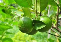 Mazzo verde del limone Fotografia Stock