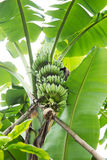 Mazzo verde della banana Fotografie Stock
