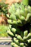 Mazzo verde delle banane Immagine Stock