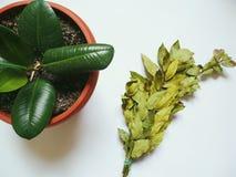 Mazzo verde delle foglie dell'alloro e del ficus della pianta da appartamento su fondo bianco Fotografie Stock