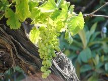 Mazzo verde maturo spagnolo dell'uva che appende su un ramo fotografia stock libera da diritti