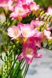 Mazzo vibrante del fiore del fondo rosa di alstroemeria Fotografia Stock Libera da Diritti