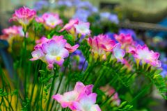 Mazzo vibrante del fiore di alstroemeria rosa Fotografie Stock