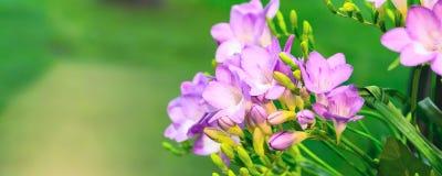 Mazzo vibrante del fiore di alstroemeria rosa su fondo verde Immagine Stock Libera da Diritti