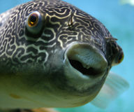 Mbu Pufferfish Lizenzfreies Stockfoto