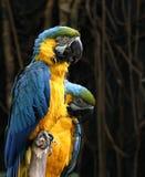Mcaws azul Foto de Stock