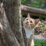 McCavity, orange and white kitten, focused on bird feeder activity outside the frame of photo. Small orange and white kitty peeking around a tree trunk to Stock Image