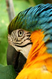 McCaw Close Up. Close up photo of a colorful McCaw Stock Photo