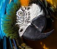 McCaw-Papagei Stockfoto