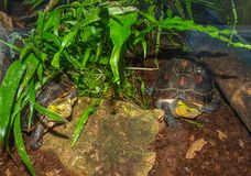McCord`s Box Turtle Cuora McCordi. Is a species in the southeast Asian genus Cuora family Geoemydidae royalty free stock photo