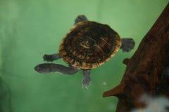Mccordi Chelodina черепахи острова Roti змейк-necked стоковая фотография rf