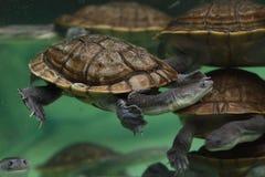 Mccordi Chelodina черепахи острова Roti змейк-necked стоковое изображение