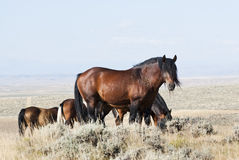 McCullough Peak Mustangs. Free roaming mustangs on the McCullough Peak Wild Horse Management Area in Wyoming Royalty Free Stock Images