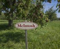McIntosh äpplen på ett träd Royaltyfria Foton