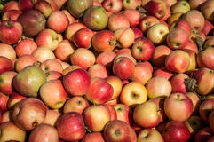 McIntosh Apples. Fresh McIntosh apples at Outhouse Orchard, North Salem, NY Royalty Free Stock Photos