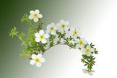 McKay Potentilla Stock Photography